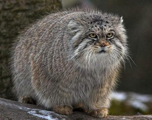 manul pallas cat russian cat