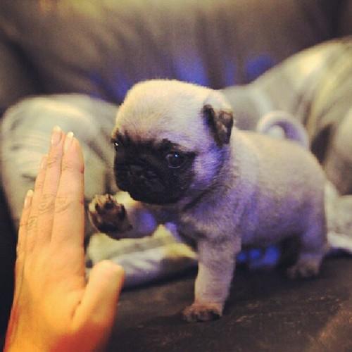 pug puppy high five