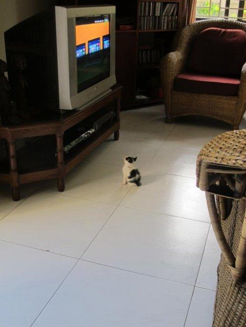kitten watching tv